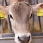 Ronda the cow